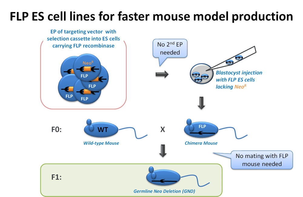 FLP ES Cell Lines for Faster Mouse Production from GeneTargeting.com