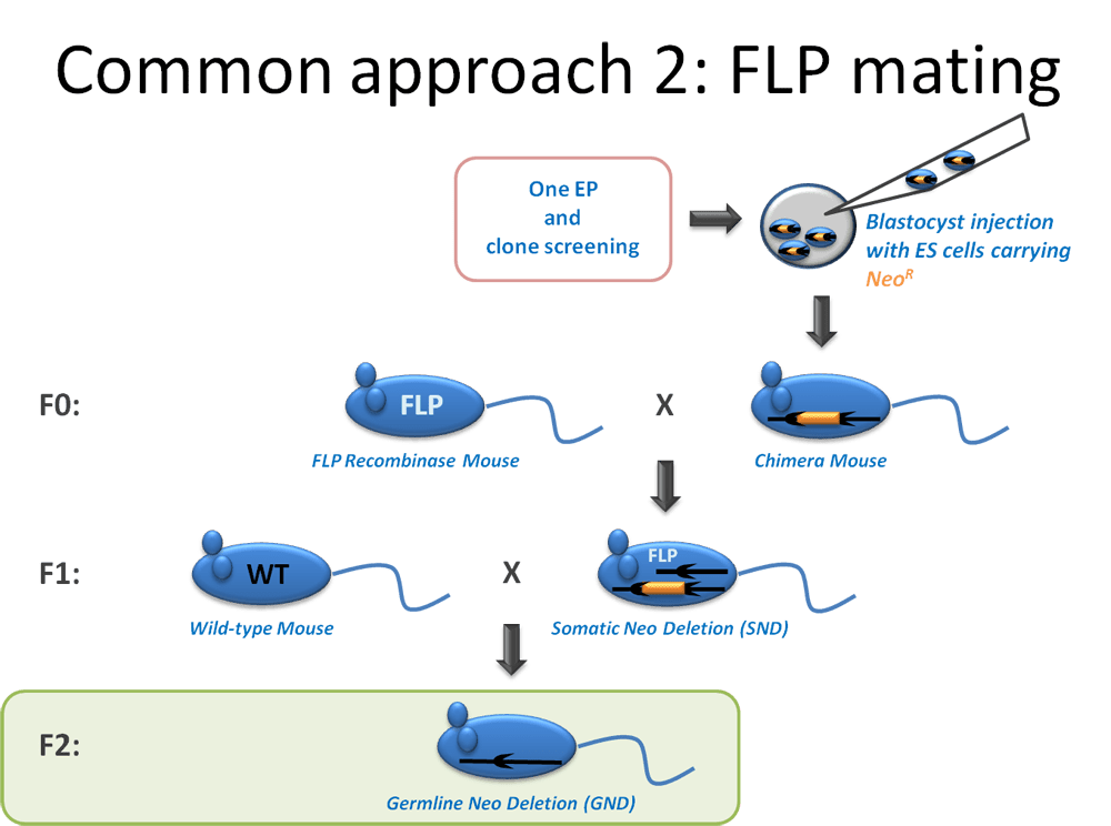 Common Approach 2: FLP Mating from GeneTargeting.com