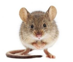 A New Humanized Mouse Model from GeneTargeting.com