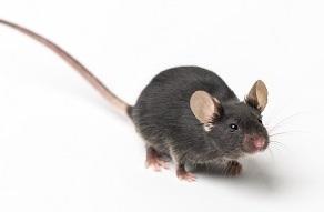 custom mouse models