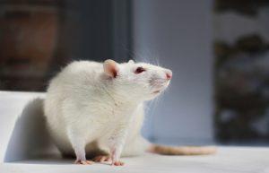 advantages of rat models