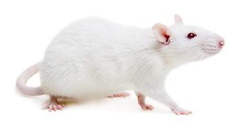 custom rat models