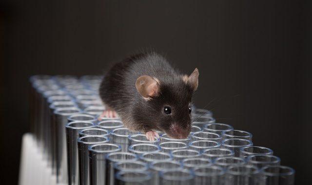 Gene Knockin Mouse