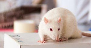 Novel Transgenic Rat Model Of Cerebral Amyloid Angiopathy