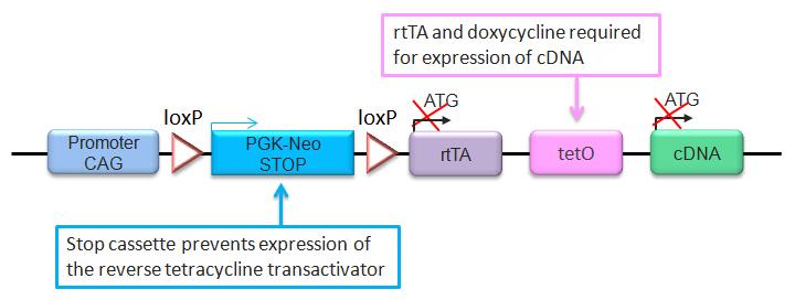 Rosa26 Express Schematic 2