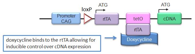 Rosa26 Express Schematic 4