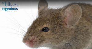 Knock In Mice Vs Transgenic Mice by INGENIOUS