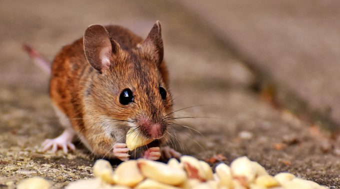 Effects Of Climate Change In Mouse Models With Influenza Virus