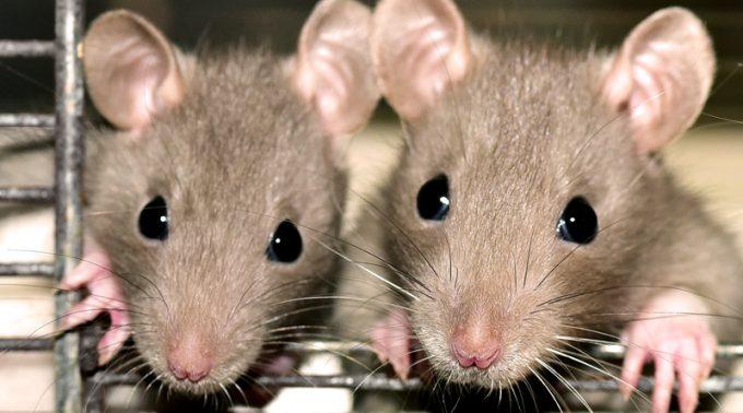Rat Models of Spinal Cord Injury