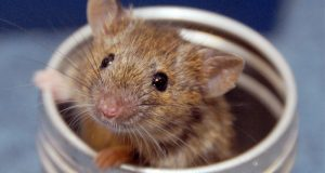 Why should you consider making transgenic mice?