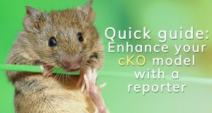 Quick guide: Enhance your cKO model with a reporter