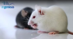 Lox Knockout - black and white mice