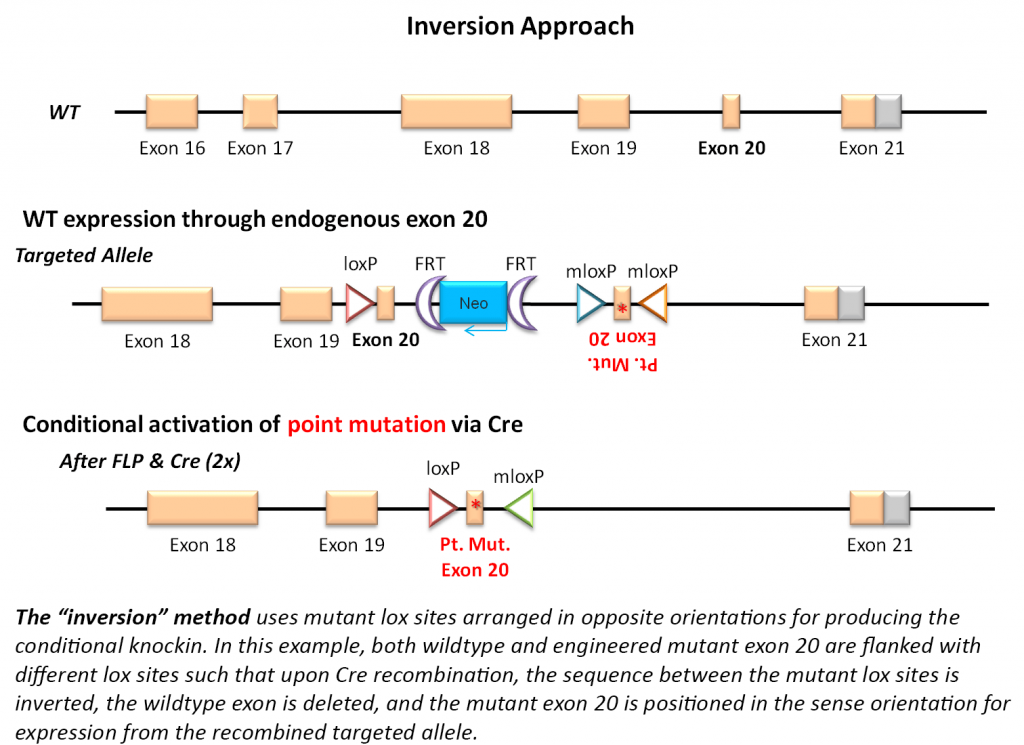 Wildtype-First with Conditional Activation of Mutant - Inversion Approach
