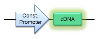 Transgenic Construct Schematic