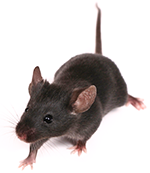 Humanized COVID-19 ACE Mouse Model